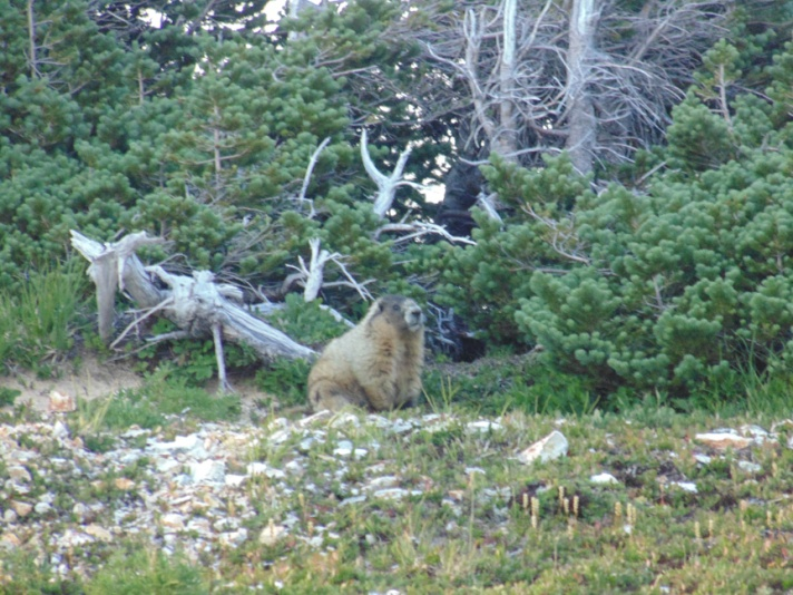 marmot ptarmigan